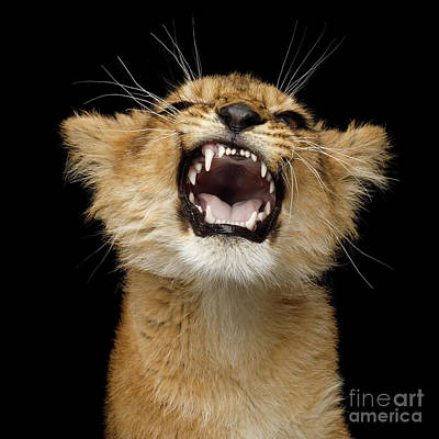 Photograph - Portrait Of Roaring Little Lion by Sergey Taran