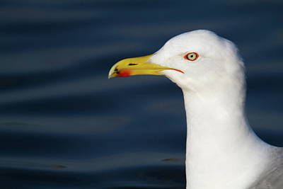 Animal Portraits Royalty Free Images - Portrait Of Seagull And Lake Royalty-Free Image by Marie Sprunger