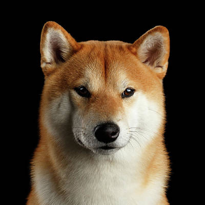 Dog Photograph - Portrait Of Shiba Inu by Sergey Taran