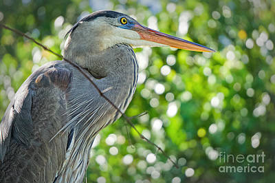 Photograph - Portrait Of The Great Blue by Judy Kay