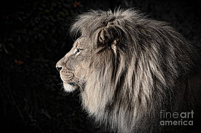 Photograph - Portrait Of The King Of The Jungle II by Jim Fitzpatrick