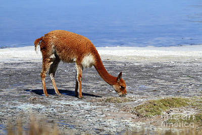 Portrait Of Vicuna Grazing On Shore Of Salt Flat Chile Art Print by James Brunker