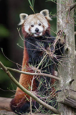 Photograph - Portrat Of A Content Red Panda by Greg Nyquist