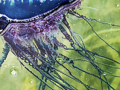 Photograph - Portuguese Man O War Close Up by Bob Slitzan