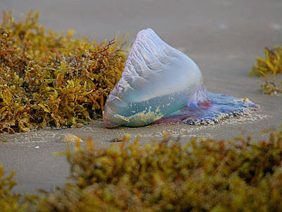 Photograph - Portuguese Man Of War by Charles McKelroy