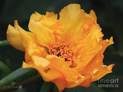 Painting - Portulaca Named Sundial Gold by J McCombie