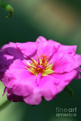 Photograph - Portulaca by Patti Whitten