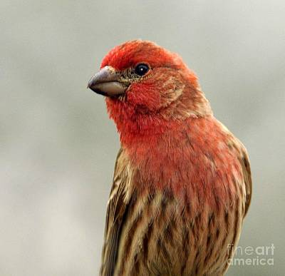 Red Finch Photograph - Posing by Arnie Goldstein