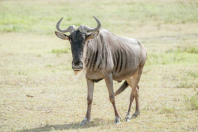 Photograph - Posing At Camera Blue Wildebeest In Tanzania by Marek Poplawski