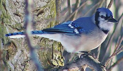 Photograph - Posing Blue Jay by Bruce Bley