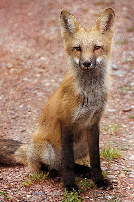 Photograph - Posing Fox by WB Johnston