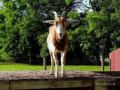 Photograph - Posing Goat by Ed Weidman