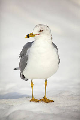 Ring-billed Gull Photograph - Posing Gull by Karol Livote