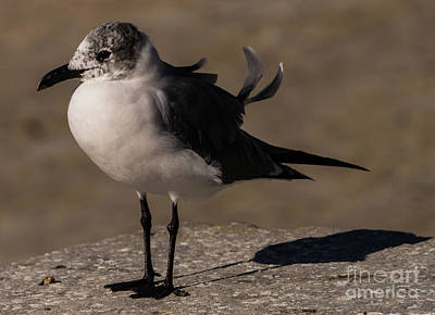 Photograph - Posing Laughing Gull by Vincent Billotto