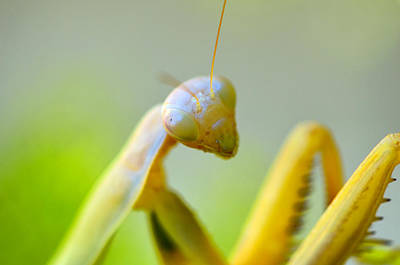 Photograph - Posing Mantis by Spencer Hughes