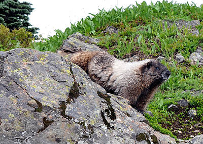 Photograph - Posing Marmot by Rebecca Parker