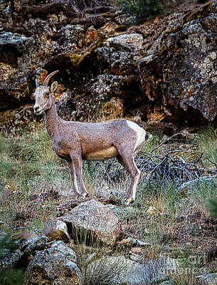 Photograph - Posing Mountain Sheep by Robert Bales