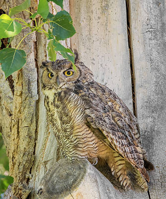 Photograph - Posing Owl by Loree Johnson