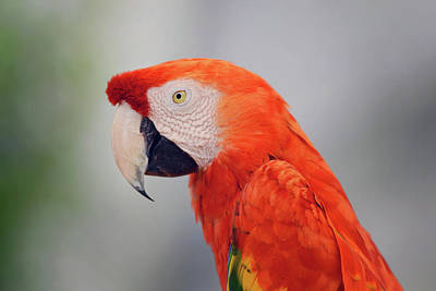 Photograph - Posing Parrot by Vanessa Valdes