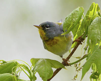 Photograph - Posing Parula 2 by Timothy McIntyre