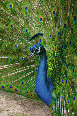 Photograph - Posing Peacock by Marie Leslie