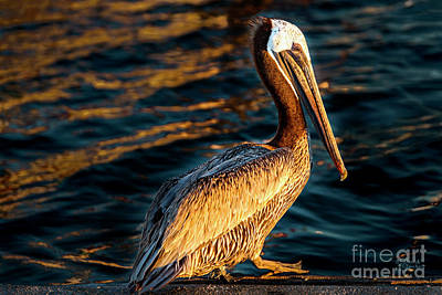 Brown Photograph - Posing Pelican by David Millenheft