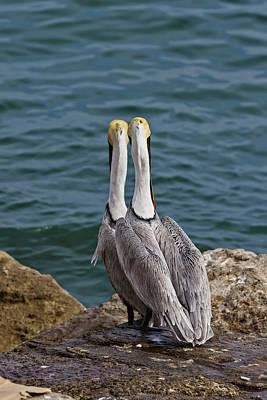 Photograph - Posing Pelican Pals by John Haldane