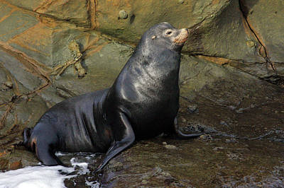 Posing Sea Lion Print by Randall Ingalls