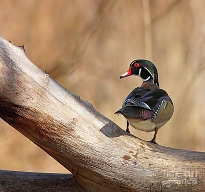 Posing Wood Duck Art Print