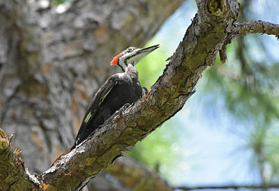 Photograph - Positively Pileated by William Tasker