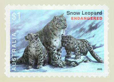 Photograph - Postage Stamp - Snow Leopard By Kaye Menner by Kaye Menner