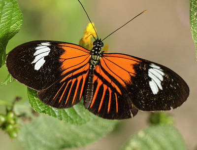 Photograph - Postman Butterfly, Heliconius Melpomene, Ecuador  by Venetia Featherstone-Witty