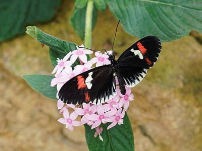 Photograph - Postman Butterfly, Heliconius Melpomene by Paul Gulliver