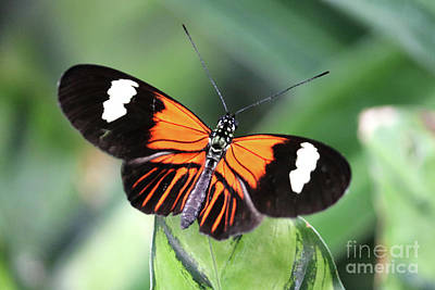 Photograph - Postman Butterfly by Julia Gavin