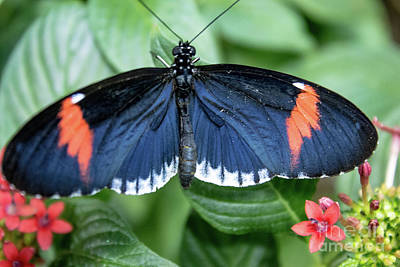 Photograph - Postman Butterfly by Steven Parker