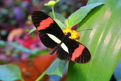 Photograph - Postman Longwing by Kathryn Meyer