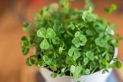 Photograph - Pot Of Luck Shamrocks St Patricks Day by Terry DeLuco