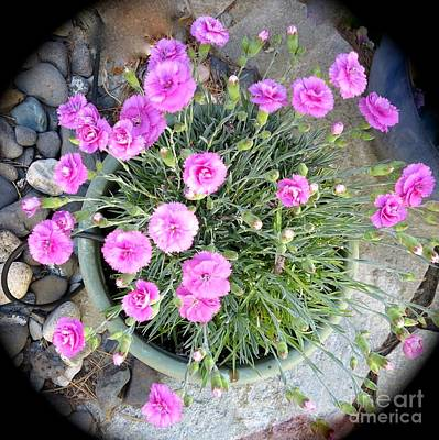 Photograph - Pot Of Pink by Phyllis Kaltenbach