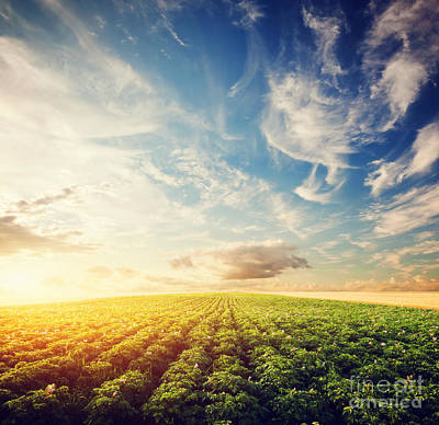 Cultivate Photograph - Potato Crop Field At Sunset by Michal Bednarek