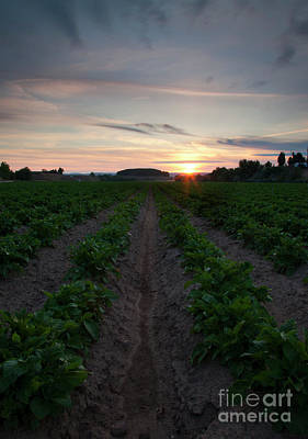 Photograph - Potato Field Sunset by Mike Dawson