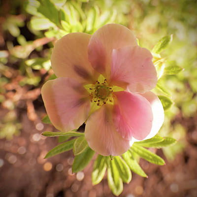 Photograph - Potentilla Flower Rose Colored by Leslie Montgomery