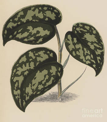 Nature Study Drawing - Pothos Argyraea by English School