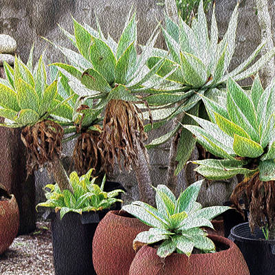 Photograph - Potted Agave Plants by Ken Wood