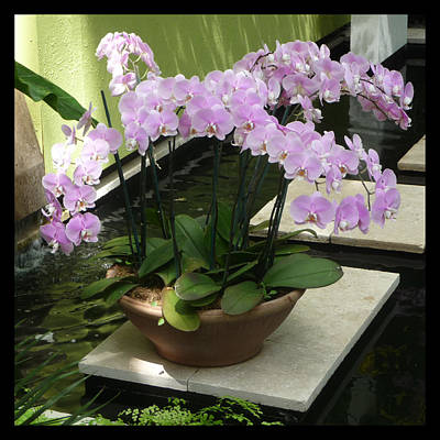 Photograph - Potted Phalaenopsis-orchids by Margie Avellino