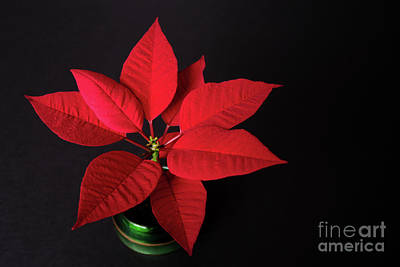 Photograph - Potted Poinsettia by Ann Horn