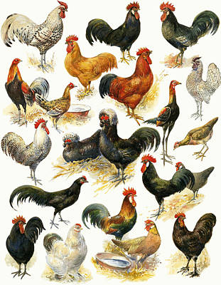 Barn Yard Painting - Poultry by English School