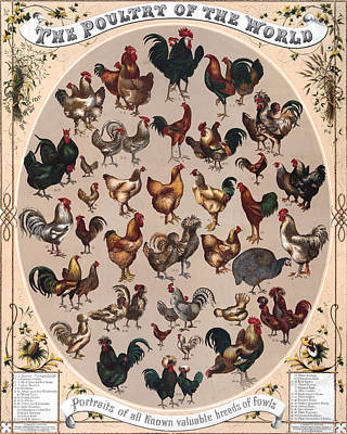 Rooster Drawing - Poultry Of The World Poster by American School