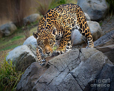 Strong America Photograph - Pounce by Jamie Pham