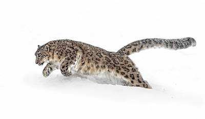 Photograph - Pouncing Snow Leopard by Wes and Dotty Weber
