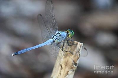 Photograph - Powder Blue Dragonfly by Carol Groenen
